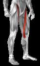 sartorius-muscle-yoga-anatomy.png